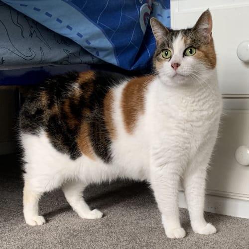 Princess  - Domestic Short Hair Cat