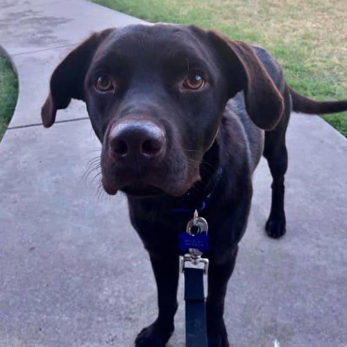Koda - Labrador Dog