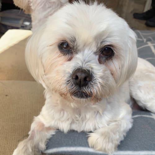 Lily & Daisy - Maltese Dog