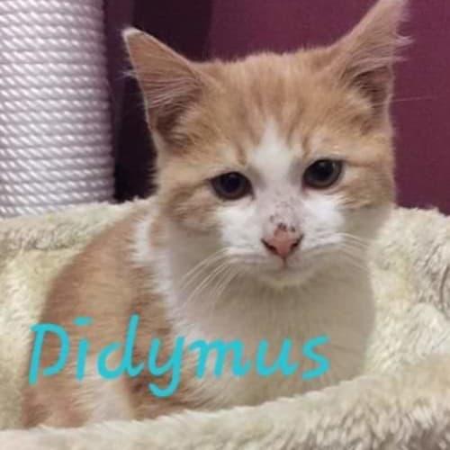 Didymus - Domestic Short Hair Cat