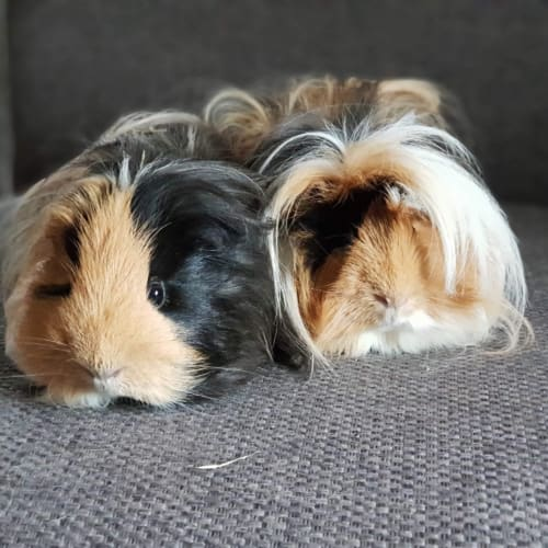 Pig and Zulu -  Guinea Pig