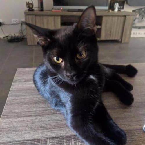 Midnight - Domestic Short Hair Cat