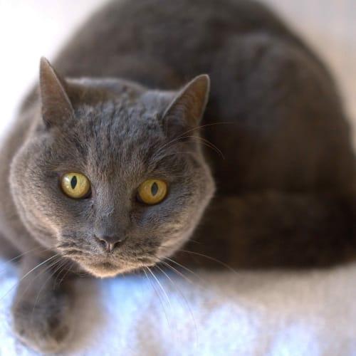 Smokey - British Shorthair Cat