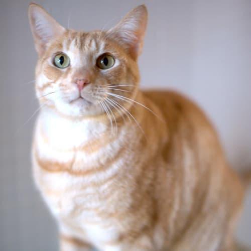 Gendry - Domestic Short Hair Cat
