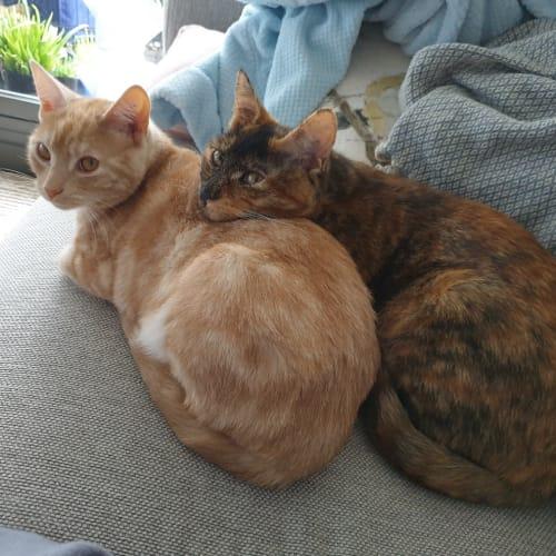 Caramel & Creampuff (Located in Frankston) - Domestic Short Hair Cat