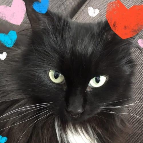 Sassycat - Meet me at Neko HQ in Preston - Domestic Medium Hair Cat