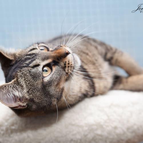 Alissa  - Domestic Short Hair Cat