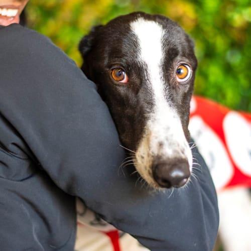 Snoot Dog - Greyhound Dog
