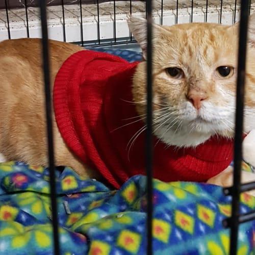 Garri - Domestic Short Hair Cat