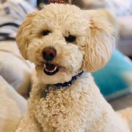 Louis DL2225 - Poodle Dog