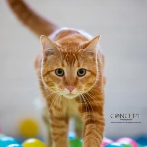 Ed Sheeran - Domestic Short Hair Cat