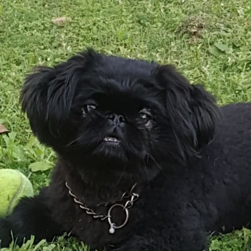 Dinky - Pekingese Dog