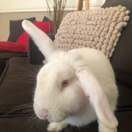 Wally - Dwarf lop Rabbit