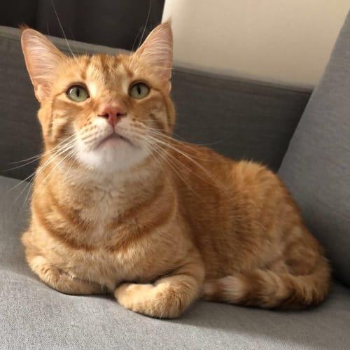 Aslan  - Domestic Short Hair Cat