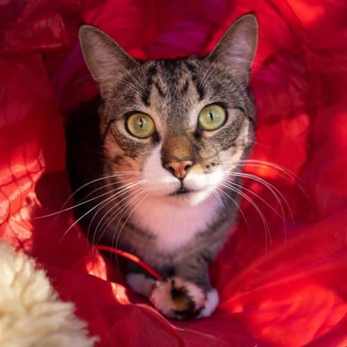 Todd - Domestic Short Hair Cat