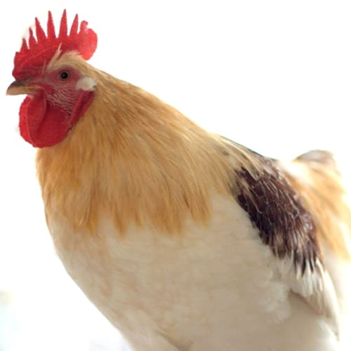 Brulee -  Rooster