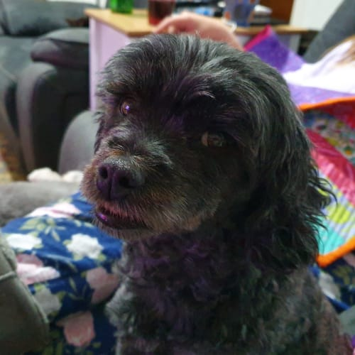 LuLu - Poodle Dog