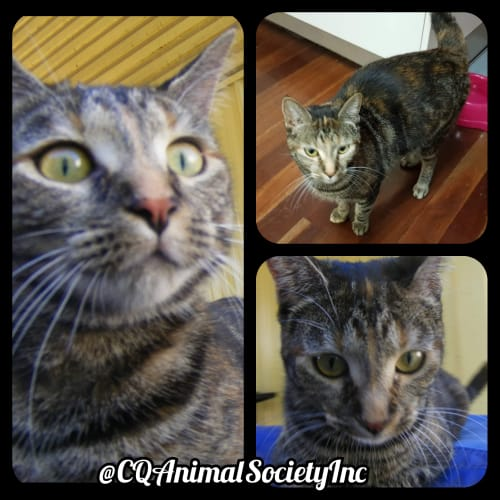 Bandit - Domestic Short Hair Cat