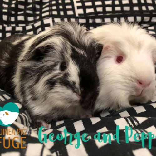 George (desexed male) and Peppa - Smooth Hair Guinea Pig