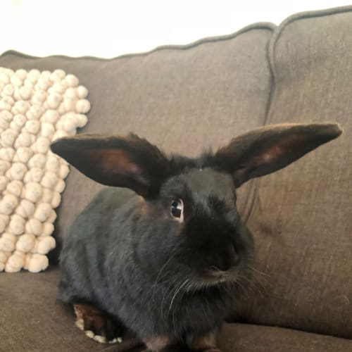 Barney - Domestic Rabbit