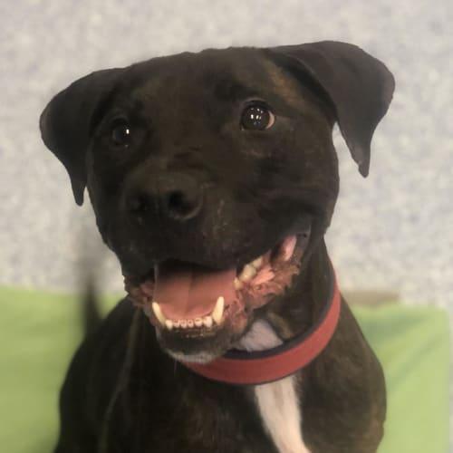 Toki - Staffordshire Bull Terrier Dog