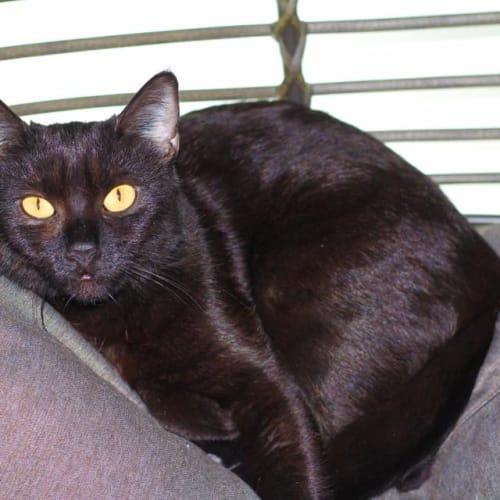 India - Domestic Short Hair Cat