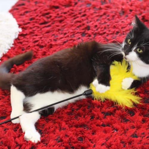 Zena - Domestic Short Hair Cat