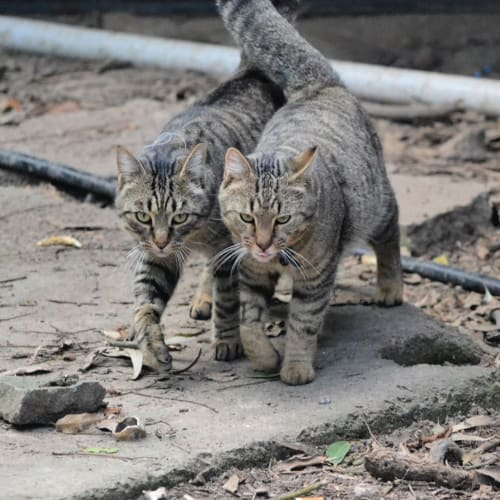 Ronan and Titus - Domestic Short Hair Cat