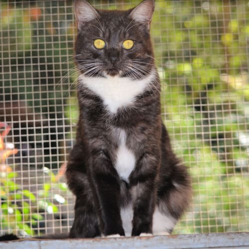 Braylin - Domestic Short Hair Cat