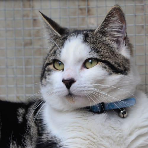 Axel - Domestic Short Hair Cat