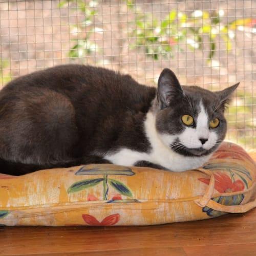 Almus - Domestic Short Hair Cat