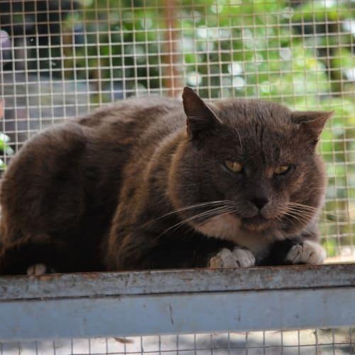 Almon - Domestic Short Hair Cat