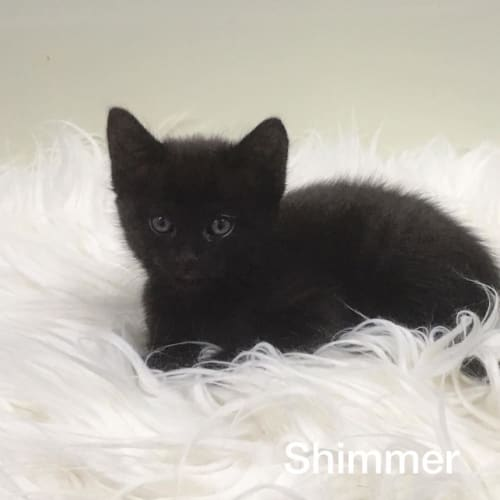 Shimmer - Domestic Short Hair Cat