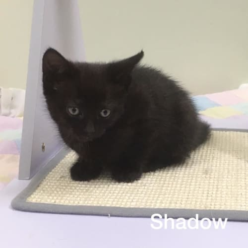 Shadow - Domestic Short Hair Cat