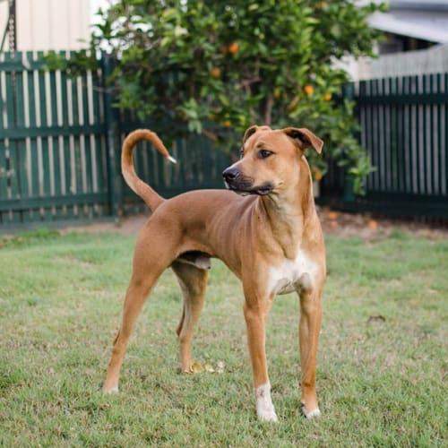 Phillip - Boxer x Rhodesian Ridgeback Dog