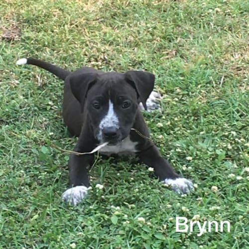 Brynn - Bull Arab Dog