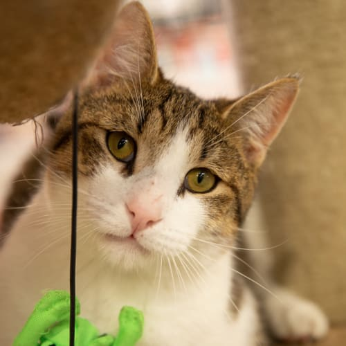 Shinto - Visit Me at PetStock Claremont! - Domestic Short Hair Cat