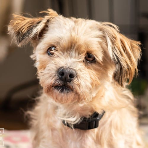 Chino Pickersgill - Maltese x Shih Tzu Dog