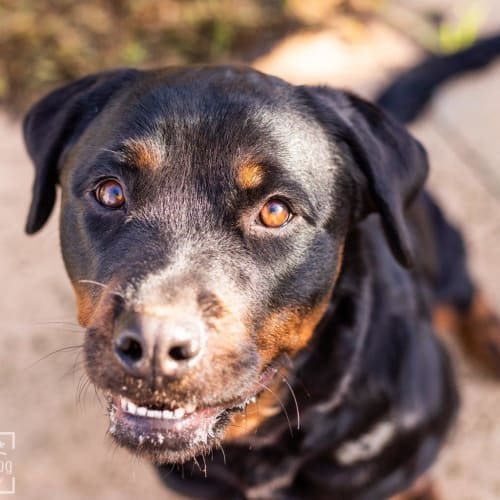 Nina Quartermain - Rottweiler Dog