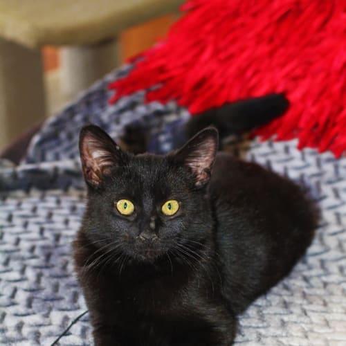 Caeser - Domestic Short Hair Cat