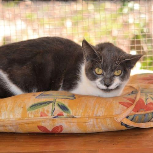 Almika - Domestic Short Hair Cat