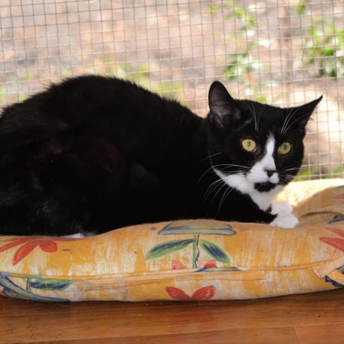 Darvin - Domestic Short Hair Cat