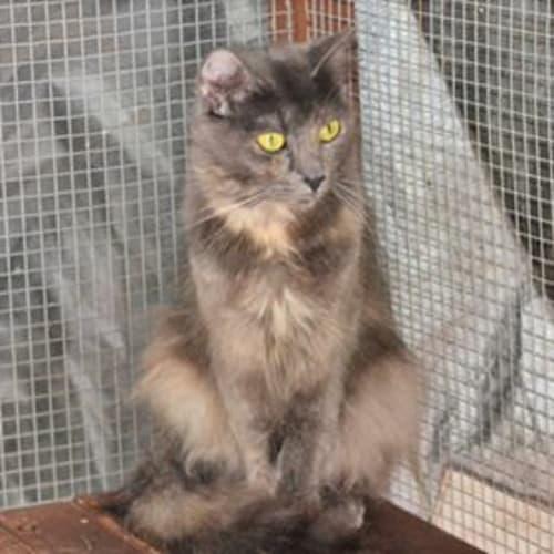 Evangelina - Domestic Medium Hair Cat