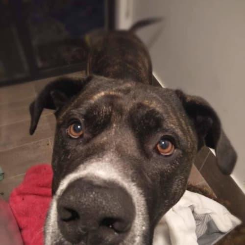 Rocky - Mastiff Dog