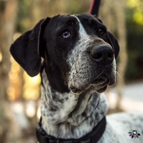 Tessa - Blue Heeler Dog