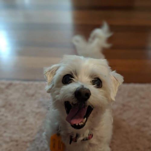 Mia 🐑 - Maltese Dog