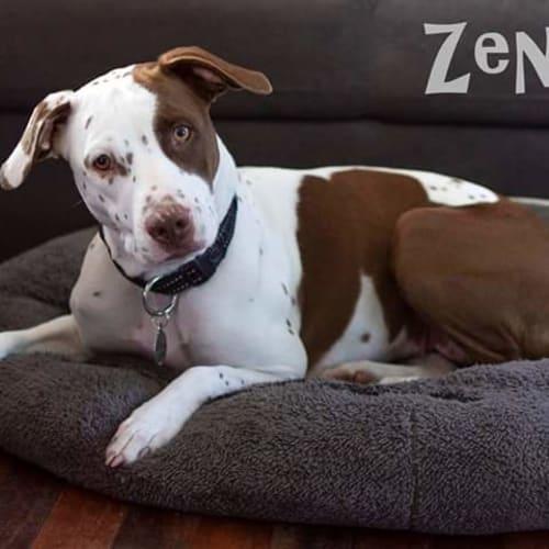 Zena - Dalmatian Dog