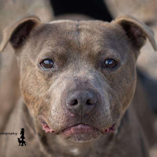 Harley - Staffordshire Bull Terrier Dog