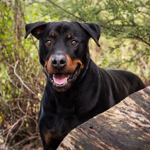 Vadar - Rottweiler Dog
