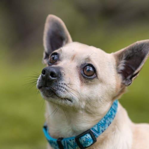 Hercules (Herky) - Chihuahua Dog